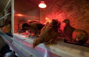 Лампы для обогрева птиц